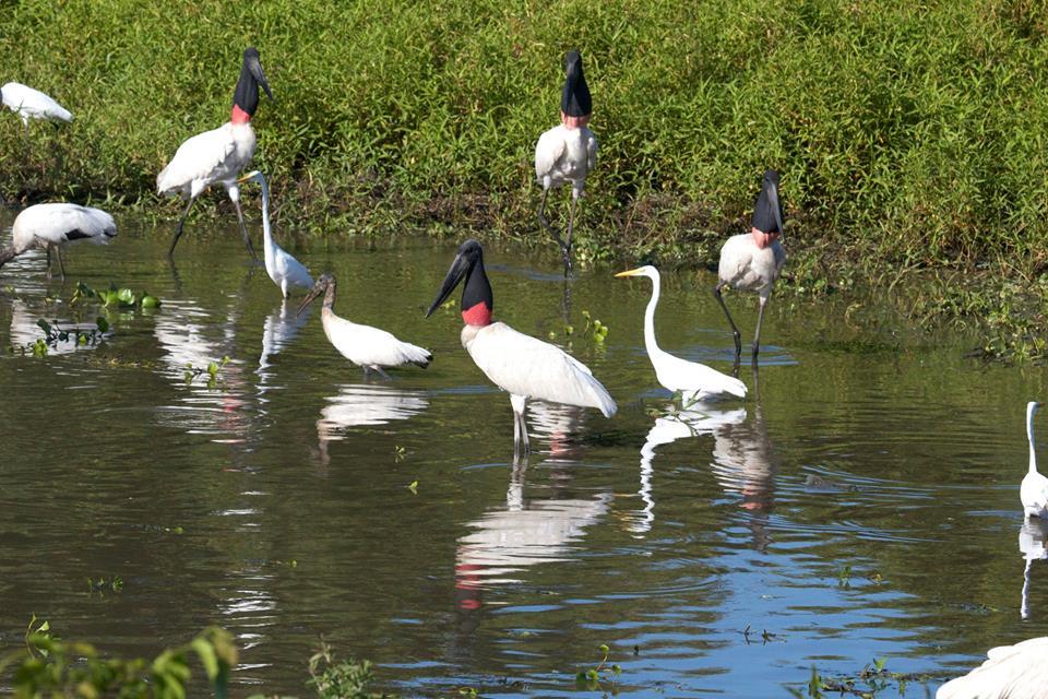 Tuiuius pantanal san francisco
